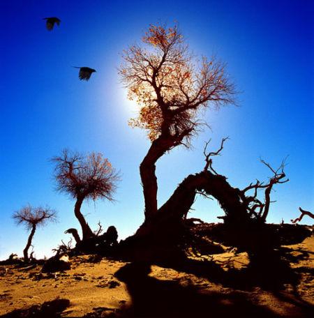 格尔木胡杨林-金色胡杨林 孤傲的沙漠守望者
