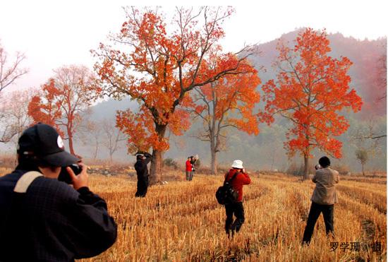 罗田大别山的红叶引得摄影人士追逐