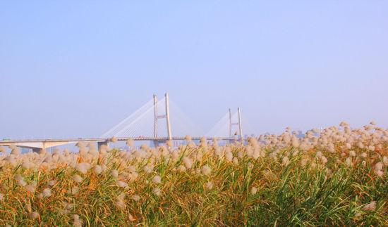 武汉江滩芦苇绵延近十里 芦苇花幕天席地