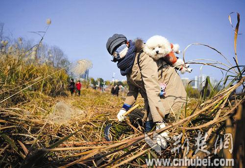 图为:市民志愿者秦女士背着宠物狗,挥舞镰刀收割芦苇