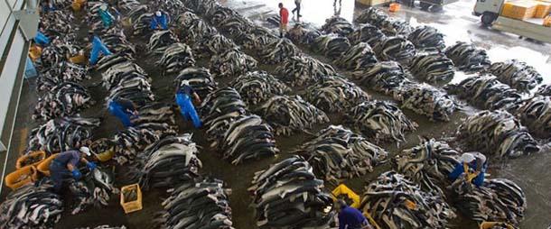 每天都有成千上万只鲨鱼为了满足人们的口食之欲被捕杀。