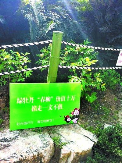 绿牡丹遭偷摘后,园方赶制了警示牌。记者 李爱华 摄