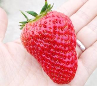 @天佑嘉蘅:高淳的草莓也不错