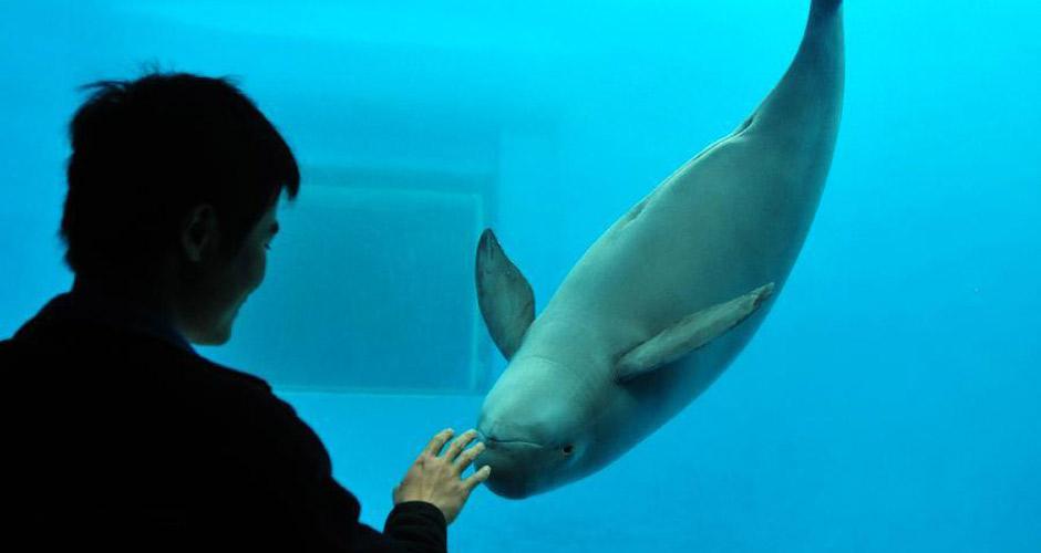 江豚与饲养人员互动