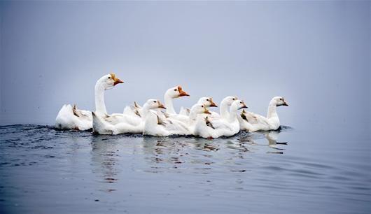 图为:河套湿地的白鹅