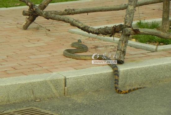 网曝湖北工业大学校园出现2米大蛇引网友热议