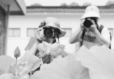 摄影爱好者在拍摄绽放的并蒂莲。