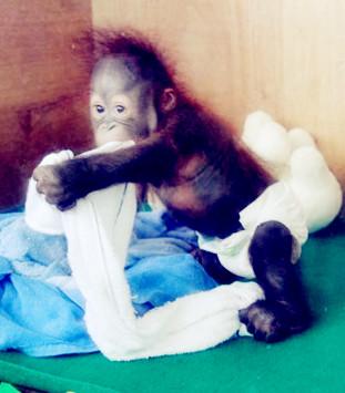 长隆大马戏――吃奶嘴的小猩猩