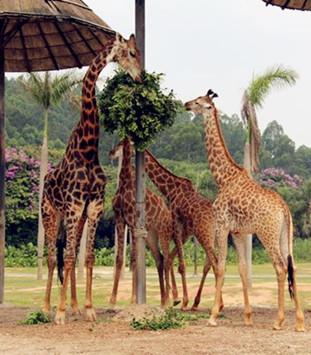 长隆大马戏――长长脖子的长颈鹿