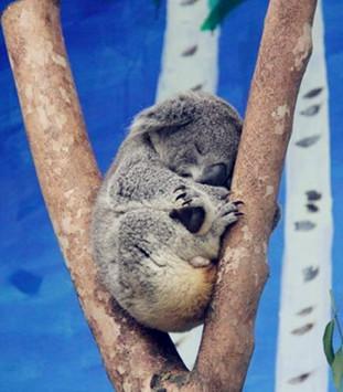 长隆大马戏――树杈上的小考拉
