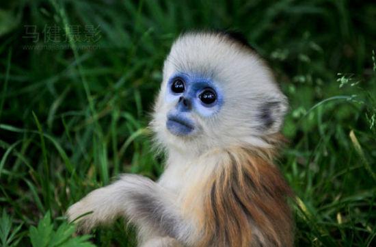新浪旅游配图:神农架 金丝猴 摄影:mark