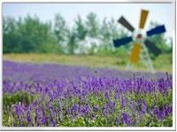 汤山翠谷薰衣草 南京的普罗旺斯