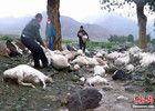 新疆173只羊被雷电击中致死