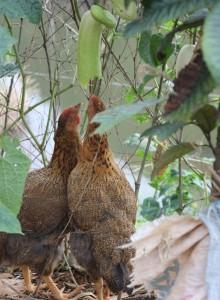 村子两只争抢丝瓜的鸡