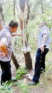 森林公安和村民查看惨遭剥皮的松树