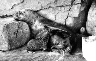 武汉极地海洋世界首添海狮宝宝