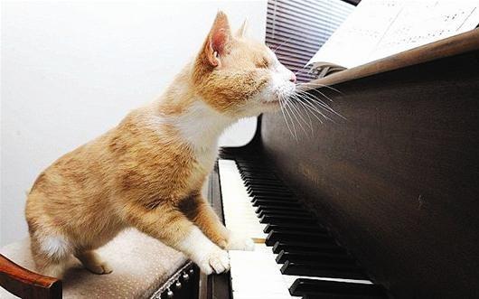 盲猫弹钢琴