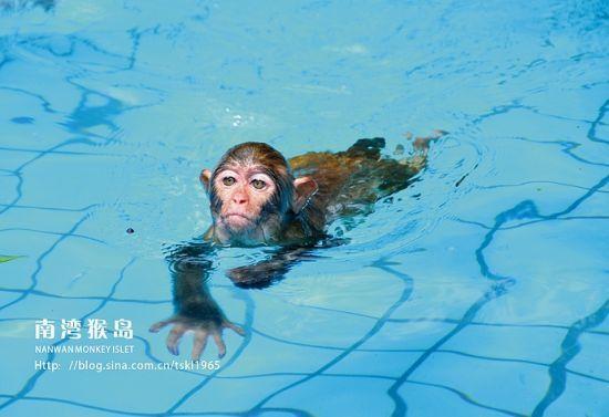 新浪旅游配图:猴大人在游泳 摄影:托斯卡纳