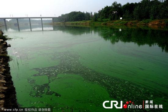 2012年8月18日,湖北省孝感市云梦县府河,长达几公里的绿色漂浮物布满沿岸。