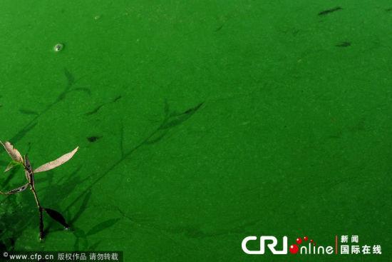 绿色漂浮物像油漆般厚厚地沾住沿岸草木,随风漂浮。8月18日,湖北省孝感市云梦县府河,长达几公里的绿色漂浮物布满沿岸。绿色漂浮物像油漆一样粘稠,厚厚地沾住沿岸草木,随风漂浮。
