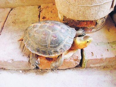 网友捡到的乌龟。图片来自网络