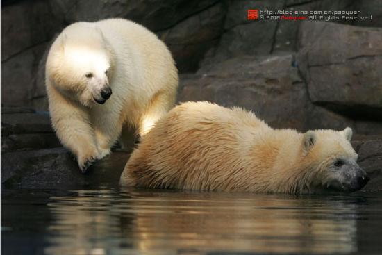 这两头北极熊是大连老虎滩极地海洋公园里的北极熊