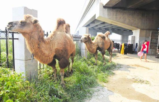 """图为:骆驼给民间杂技团增添了""""游牧""""的色彩(记者刘蔚丹摄)"""