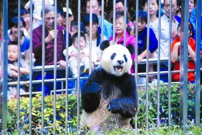 熊猫看起来情绪很不稳定。通讯员何志华 摄