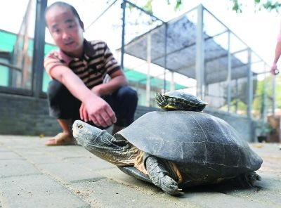 东湖边捡来稀罕大龟