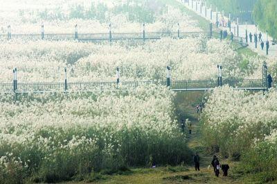 秋冬时节,汉口江滩芦苇花开。