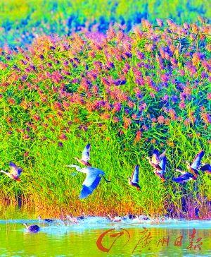 芦花遍枝,水鸟飞翔。