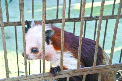 十堰男子盗卖国家二级保护动物飞狐被抓(图)