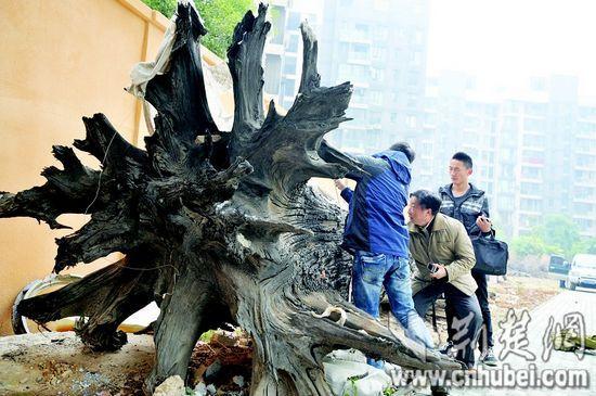 图为:中国地质大学教授李长安(中)在给古树取样