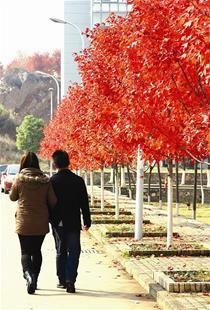 图为:信步暖阳里 看遍满树丹 刘通摄于华中科技大学文华学院