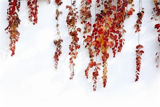 红叶,绝对是秋日不可错过的绚烂美景。