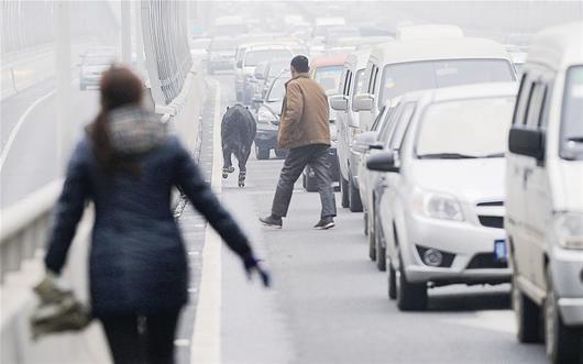 图为:黑牛在二环线高架桥上奔走,引发严重滞留。 记者刘中灿摄