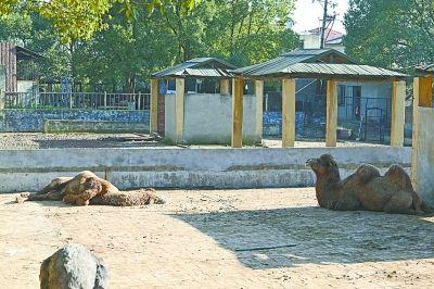 两只骆驼的睡姿很不一样。 记者李少文 摄
