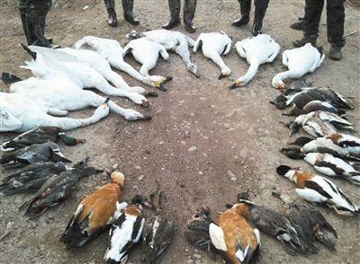执法人员在岳阳洞庭湖湿地,发现多只天鹅和野鸭尸体。