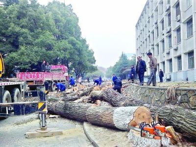 地质大学内生长了数十年的大树被砍伐 唐煜 摄