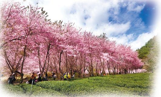 台湾武陵农场的樱花