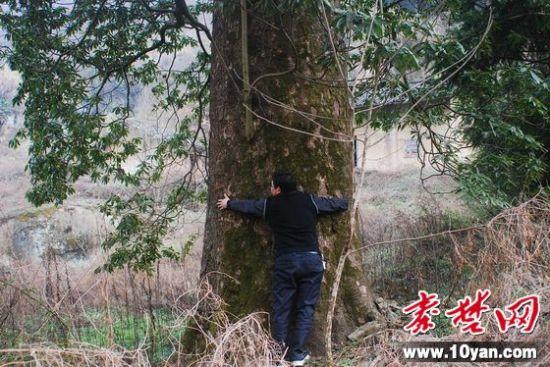 秦楚网讯 记者 闵波 通讯员 严浩 报道:3月10日,湖北大学考察组在竹溪县鄂坪乡三同村一峡谷中考察时,发现一棵巨大的古树,初步鉴定为楠木,树龄在300年左右。   该树高约30米,冠径21米,主干有三个成年人合抱粗,直径在一米七以上,茂密的树枝上开满了黄绿色的小花,显示出勃勃生机,整个植株没有被砍伐、虫蛀的痕迹,保存十分完好。初步鉴定为楠木,是迄今为止在竹溪发现的最大的楠木,堪称楠木王。考察组在楠木王的附近还发现有大量小楠木。   楠木为我国特有,樟科常绿大乔木,国家二级保护渐危种。是驰名中外