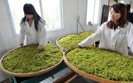 图为:新洲白茶园的白茶上市 (记者万多摄)