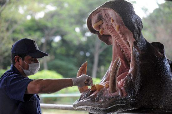 河马是陆地上嘴巴最大,咬合力最大的动物,成年河马咬合力达1吨多.