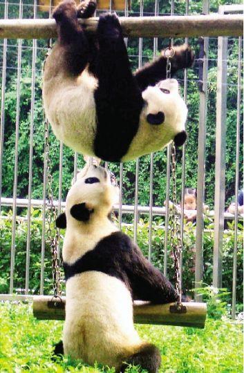 """武汉动物园大熊猫""""希望""""、""""伟伟""""在玩耍。本报记者 孙辰 通讯员 何志华 摄"""