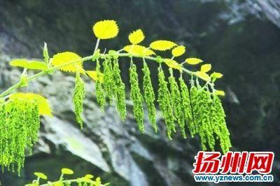 湖北神农架首次发现世界上独一无二植物高3米有毒