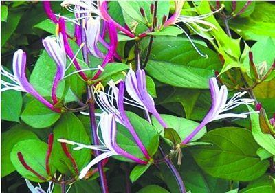 中山公园现紫色金银花 专家称非人工种植较珍稀