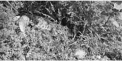十堰一路边草丛现死亡巨鳄