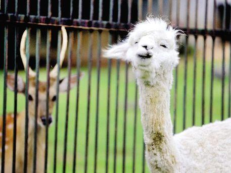 武汉九峰森林动物园引进羊驼