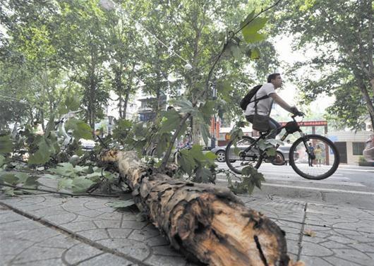 图文:汉口解放公园路大树枝断裂险砸过路公交车