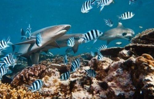 白鳍鲨:美国夏威夷群岛的欧胡岛